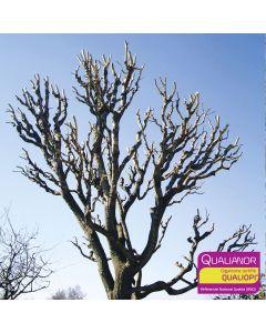 Formation sur les tailles courtes pour arboristes et élagueurs. Hévéa formation est certifié Qualiopi.